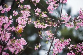 樱花树善捐