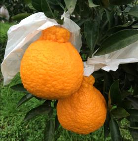 四川特产丑橘不知火5斤小~20个、5斤中~13个、5斤大~10个、8斤小~28个、8斤中~22个、8斤大~15个普箱新鲜水果产地直发