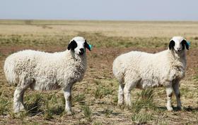 鄂温克西公社牧场 巴尔虎羔羊 第01期