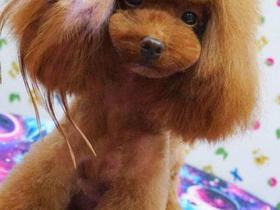 中型犬剃毛一次