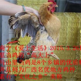 里当土鸡马山大石山野生放养里当鸡活鸡新鲜鸡肉南宁免费配送上门