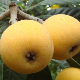 【东山白玉枇杷】苏州东山白沙枇杷一级果 精品枇杷 风味佳 甜而多汁 顺丰包邮