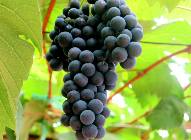天葡萄庄园