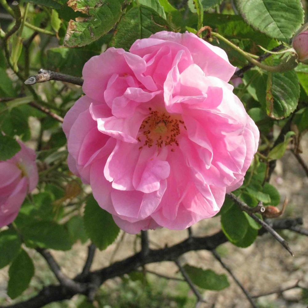 大马士革奥图玫瑰精油