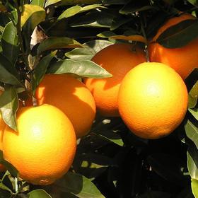 精选赣南脐橙   果肉饱满 肉质脆嫩   5斤1箱  清甜多汁