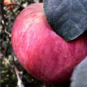 【江浙沪包邮】新疆阿克苏冰糖心苹果,一级果10斤装