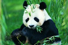 【成都必体验】成都熊猫基地一日游