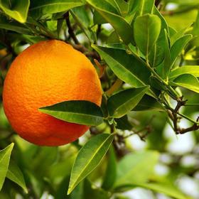 苦橙叶精油 - 进口 巴拉圭产