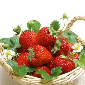 【重磅 预售】安徽长丰新鲜草莓 大中果 甜度11-14