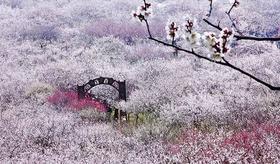 2.24徒步穿越太湖三尖,探寻梦中的香雪海(1天活动)