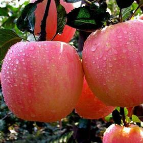 【美货】陕西红富士苹果5斤新鲜水果批发包邮非烟台洛川丑果