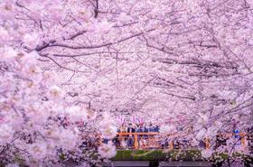 【樱花季】东京赏樱专线 皇居+浅草寺+东京一半日游
