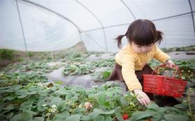 【近郊游】最火爆的周边草莓畅吃采摘!还有各种好玩的亲子游戏+赏满山遍野的油菜花