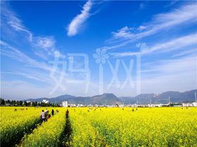 YR6【妈网】上海油菜花节亲子村一日游 带你去看油菜花