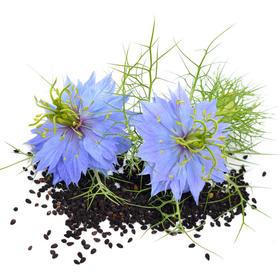 黑种草油,芳香的治の疗性植物油