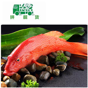 东星斑鱼(1斤195元,先收1斤半定金292.5,多退少补)