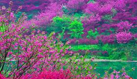 4.16深入浙东的'西藏',徜徉十里樱花海,邂逅一场樱花雨(1天活动)