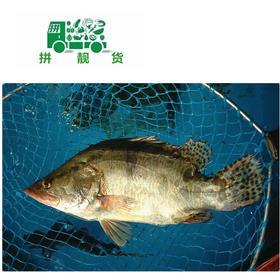 桂花鱼1斤