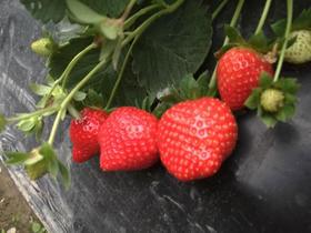 【采摘活动报名】摘草莓+摘圣女果+田园梦想午餐+农村渔场钓鱼