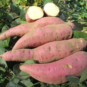 阳江北桂园富硒红密薯