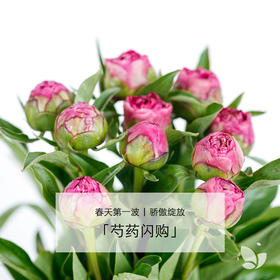 尝鲜秒杀 | 79元/7-8枝芍药,颜色随机,京津冀包邮