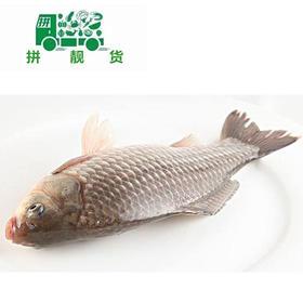 鲫鱼(1斤16元,先收1斤定金16,多退少补)