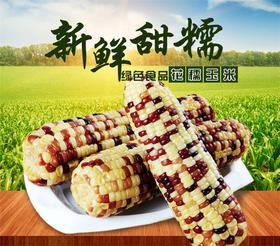 【广西南宁甜糯玉米】农家特产新鲜现摘 甜糯玉米棒 8斤49元 非转基因 粘黏香嫩 花玉米