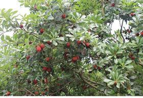 【特甜】预售6月15日左右新鲜杨梅 正宗仙居荸荠杨梅 水果6.5斤 顺丰空运
