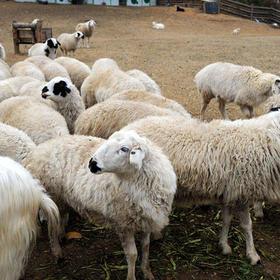 内蒙古锡盟散养苏尼特羊 绝色美味 私人定制 9月份宰杀 精分割好30斤左右 二维码监控 包邮