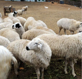 内蒙古锡盟散养苏尼特羊 绝色美味 私人定制 精分割好30斤左右 二维码监控 包邮