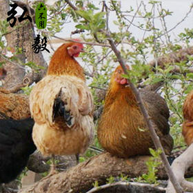 【弘毅六不用生态农场】生态养殖母鸡2斤 默认顺丰 以实际重为准 多退少补