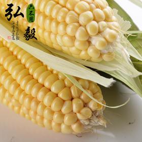 【弘毅六不用生态农场】鲜黄玉米棒 麦茬鲜玉米 自留种 4根/份