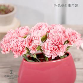 粉色单头康乃馨