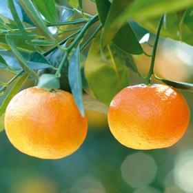 克莱蒙橙叶精油 - 法国科西嘉岛 进口