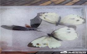 8.6【小眼看世界】自然课堂,一起做昆虫标本啦【可盖社会实践章】