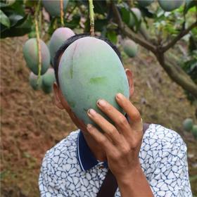 【8斤送1斤】四川攀枝花凯特芒果5斤9斤大芒新鲜水果包邮非贵妃金煌