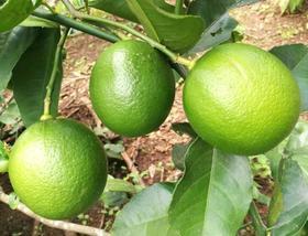【南海网微商城】自家种绿色有机柠檬 皮薄多汁 包邮