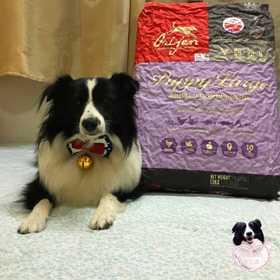加拿大进口   渴望大型幼犬13公斤