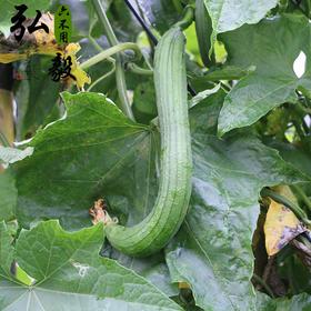 【弘毅六不用生态农场】六不用新鲜丝瓜,老品种,2斤/份