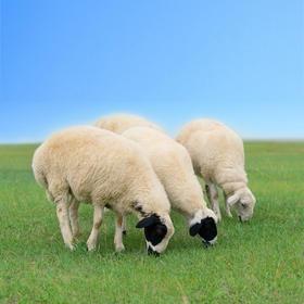 陈巴尔虎旗西乌珠尔一代天骄牧场 巴尔虎羔羊 第57期