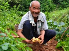 安和四季   老品种  笨土豆 (5斤包邮,偏远地处除外)