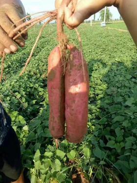 【新品好货·产地直发】陕西沙地板栗薯5斤 薯香绕齿 板栗粉甜  营养价值高