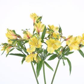 【菲集】埃塞俄比亚农场直供六出花/水仙百合 黄色 进口鲜花