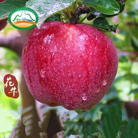 2018年现摘现发甘肃礼县花牛苹果蛇果吃的苹果5斤