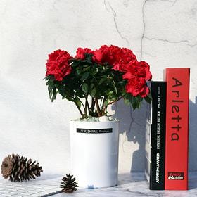 观花植物杜鹃盆栽室内阳台办公室绿植盆栽花杜鹃盆栽带花苞净化空气