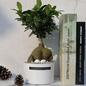 榕树盆景室内花卉绿植人参榕小盆栽桌面植物吸甲醛净化空气美观
