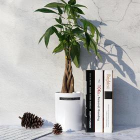 发财树室内盆栽植物办公室客厅桌面盆景缠杆发财树净化空气