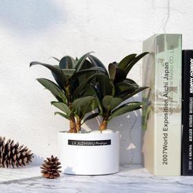 黑金刚橡皮树盆栽客厅办公室内桌面绿色盆景观叶花卉绿植净化空气