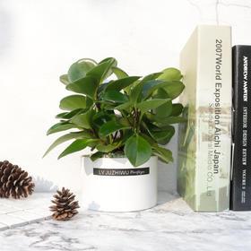 青叶碧玉盆栽植物绿室内盆栽客厅办公桌绿植花草植物净化空气