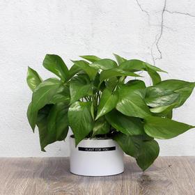 绿萝盆栽花卉室内植物桌面花叶绿萝办公室绿植小盆景净化空气